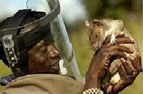 Spiritual Rats (amagudwane) that work for money spells +27635620092, powerful sangoma