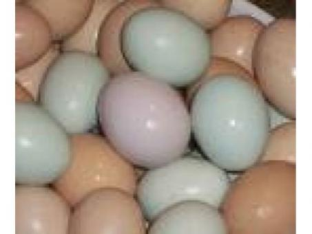 Blue and Gold Macaw eggs, Scarlet Macaw eggs, Greenwing Macaw eggs,